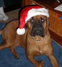 "Abbie, a 4-year old female Bullmastiff, is loving her new home in East Greenwich. We kept her name because we like it so much! She's been awesome to have around and is certainly keeping us active these cool nights… Abbie needs her evening walks for sure! She's settled right into a lazy lifestyle in our old farm-house and is doing fine with managing the steep staircase. She parades around the old farmstead any chance she gets and is very obedient when we take her off the leash for some serious play time in the yard. She must have been with a great family before we got her because she's very, very well-trained and has been such a great joy to have around. Weighing in at a whopping 98 pounds, she had a full check up by our vet last week and she received a clean bill of health. Abbie has been introduced to all our family members and gets along with everyone – – especially her ""cousin"" Rufus, a 6-year-old Boxer rescued by Brian's family a few years back. All of our nieces and nephews love her and she's welcome everywhere we go. Riding in the car appears to be one of her favorite things to do. We haven't met anyone that hasn't loved her at first sight!! Thanks again for all the wonderful things you do for animals in need here in RI! – Liz & Brian"