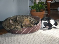 """Hi! A year ago in April I adopted Mugsy (cat) from you. He was a 14lb very shy, very skittish 3yr old. The vet believed he is at least part Maine coon, and he certainly displays many of those traits. I knew he would take a bit of time, and tlc, but he really seemed at ease and secure. Then in August I adopted Millie- a 9wk old kitten from another shelter. Millie did all the hissing, Mugsy was very patient. He watched her like a hawk, and being a little kitty she most definitely was into everything, and when he saw she """"didn't get into trouble"""" HE began to chase the balls, and the toys, and even each other. She brought out his """"inner kitty,"""" and she couldn't ask for a better big brother–as you can see. He's about 20lbs now..(shes 10) and very smart and loving- he's great (sometimes she gets the bed first even though there IS more than one, they seem to prefer that one…not that he fits, but apparently that's not an issue for him!)."""