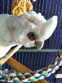 """I recently adopted Peaches back in June 2010, and I couldn't be any happier. She's been doing very well with my cockatiel, Alex, and gets along great with everyone she meets. She's also still a crazy lil' dancer, just like how she was on """"Pick of the Litter."""" Thank you so much again for giving me the chance at giving her a good home!"""