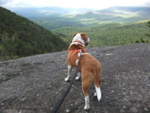 Tank was at the RISPCA for several months with severe mange. He was adopted by one of our volunteers and is doing great. This is tank on top of Rattlesnake Knob in the Adirondacks.